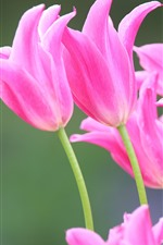 Pink tulips, flowers, spring