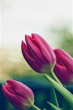 Preview iPhone wallpaper Pink tulips, flowers, stem, leaves, hazy