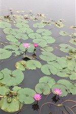 Pink water lily, pond, park