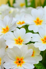 Preview iPhone wallpaper Primula, white flowers bloom, spring