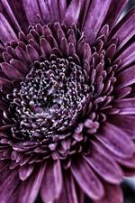 Preview iPhone wallpaper Purple chrysanthemum, petals