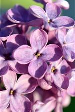 Purple flowers, lilac, petals