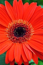 Preview iPhone wallpaper Red gerbera macro photography, petals