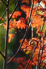 Red leaves, trees, twigs, autumn