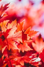 Preview iPhone wallpaper Red maple leaves, autumn, sunshine