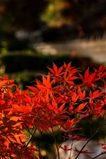 Preview iPhone wallpaper Red maple leaves, blurry background, autumn