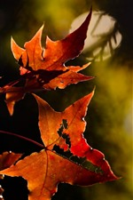 Red maple leaves, hazy background