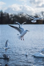 Preview iPhone wallpaper Seagulls and white swan, lake