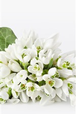 Preview iPhone wallpaper Snowdrops, white flowers and background
