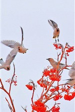 Preview iPhone wallpaper Some birds, red berries