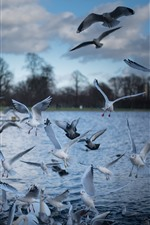 Some birds, seagulls, flight, pond