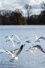 Preview iPhone wallpaper Some seagulls, flight, river