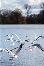 Некоторые чайки, полет, река