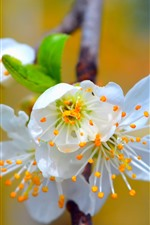 Preview iPhone wallpaper Spring, white sakura bloom