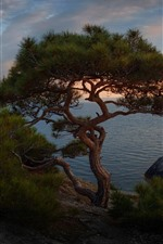 Preview iPhone wallpaper Spruce, lonely tree, sea, dusk