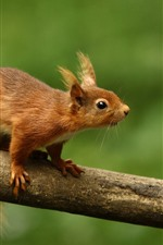 Preview iPhone wallpaper Squirrel look, tree, green background
