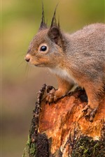 Squirrel, stump, wildlife