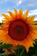 Preview iPhone wallpaper Sunflowers, field, dusk, clouds, summer