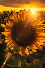 Sunflowers, sunset, backlight