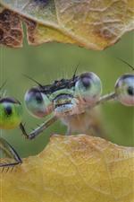 Três, libélula, folha, inseto