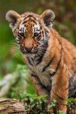 Preview iPhone wallpaper Tiger cub, look, wildlife