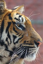Preview iPhone wallpaper Tiger, face, side view, wildlife