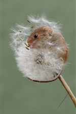 Preview iPhone wallpaper Tiny mouse, dandelion