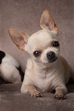 Preview iPhone wallpaper Two Chihuahua dogs, cute pets