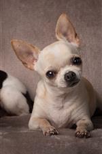 Dois, chihuahua, cachorros, cute, animais estimação