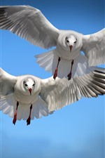 Preview iPhone wallpaper Two birds flight, seagull