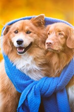 Preview iPhone wallpaper Two dogs, friends, blue scarf