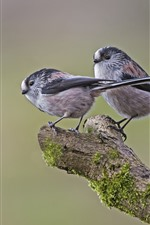 Preview iPhone wallpaper Two long-tailed tits