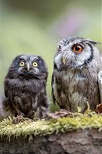 Duas corujas, mãe e filhote