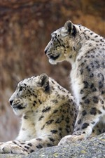 Preview iPhone wallpaper Two snow leopards, rest