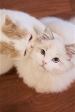 Two white cats, pet, floor