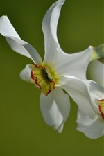 Two white daffodils close-up