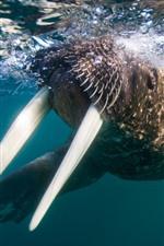 Preview iPhone wallpaper Walrus, tusks, underwater