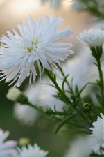 White asters flowers bloom