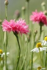 White chamomile and pink cornflowers