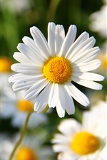 Preview iPhone wallpaper White daisy, petals, spring