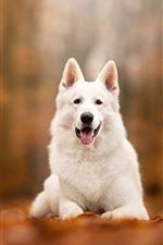 White dog front view, autumn