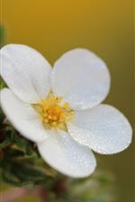 iPhone壁紙のプレビュー 白い花マクロ写真、水滴