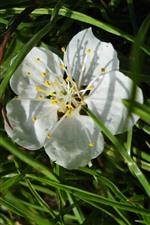 iPhone обои Белый цветок, лепестки, трава