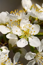 Preview iPhone wallpaper White flowers, bloom, petals, spring