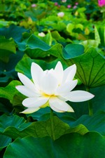 Preview iPhone wallpaper White lotus, green leaves, flowers