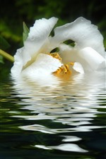 Preview iPhone wallpaper White peony flower in water