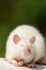 Preview iPhone wallpaper White rat
