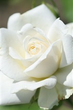 Preview iPhone wallpaper White rose close-up, bright