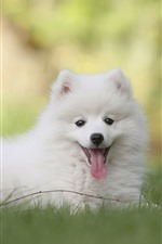 Preview iPhone wallpaper White spitz dog, grass