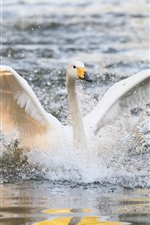 Preview iPhone wallpaper White swan open wings, water splash, lake